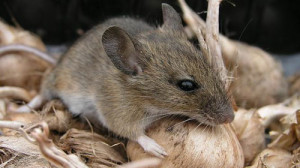 Mice & rodents exterminators myrtle beach. Check out this cute little mouse in your onion bag.
