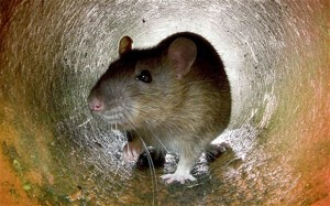 Rats entering your home in Myrtle Beach. We can get rid of them.