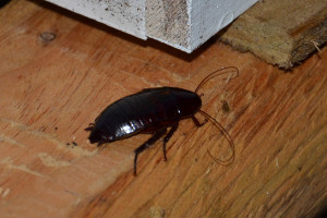 palmetto bugs & roach exterminators in myrtle beach sc